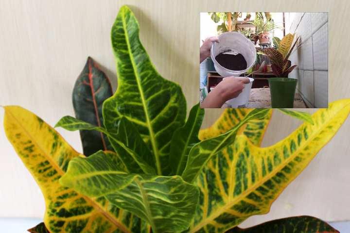 Применяют жидкие удобрения для декоративно лиственных цветов, следуя инструкции.