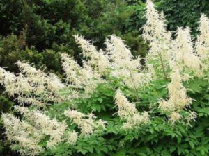 В сентябре образуются плоды с пылевидными семенами.