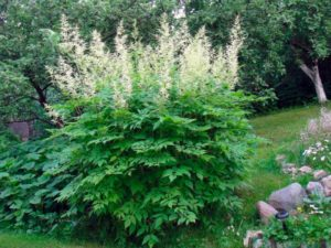 Из-за своего необычайного цветения имеет другое название «козлиная борода» или волжанка.