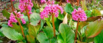 Цветение длится с апреля по май, светло-розовыми соцветиями.