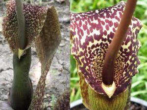 Лилия Вуду — это ядовитый цветок