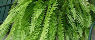 Неглубокие, чистые емкости наполняют почвенной смесью на 3-4 см. и увлажняют.