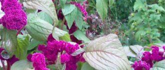 С бурыми листьями и темно-сливовыми соцветиями;