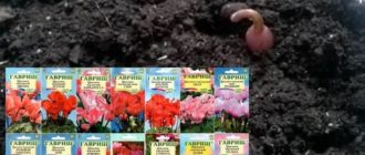 растение важно прятать от прямых лучей солнца, высокой влажности и сквозняка;