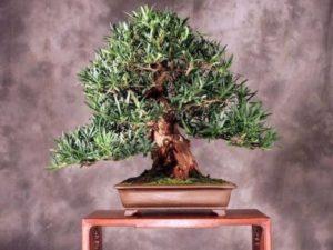 Ногоплодник Наги (Podocarpus Nageia) – это вечнозеленый невысокий кустарник