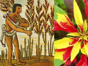 Аврора — это сорт, который отличается листьями золотистого цвета с волнистыми краями;