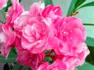 «Soleil Levant» - мелкие, простые цветы, собранные в соцветия. Пестрого окраса, розовые с желтой сердцевинкой.