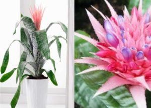 Эхмея полосатая — подробно об уходе, как размножить необычное растение дома