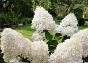 Данный сорт хорошо растет в дренированном и влажном грунте