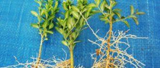 содержание рассадного материала должно проходить в благоприятных условиях;
