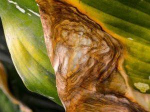 диффенбахия прелестная растет до полутора метров, ее листовые пластины бывают до 28 см в длину;