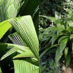 Родиной куркулиго считаются тропические леса Индии и Азии.