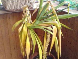 юкка растет в виде кустарника или деревца;