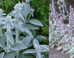 Это растение имеет такие названия, как чистец Византийский, овечьи ушки или стахис