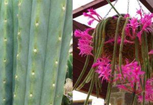 Длинные стебли, гладкие, зеленые. Цветет розовыми цветами.