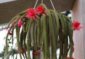 Имеет длинные свисающие стебли, в длину до 1 м. Цветочки крупные, широкие, трубчатые. Цветет розовыми цветами.