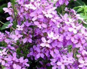 двулетник с ветвистым стеблем и простыми фиолетовыми, сиреневыми или белыми цветами