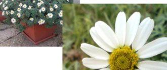 Основные принципы выращивания Антемиса