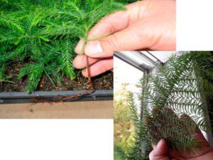 Araucaria columnaris, Араукария Колоновидная или Кука