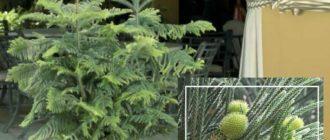 Araucaria heterophylla Араукария Разнолистная или Норфолкская сосна