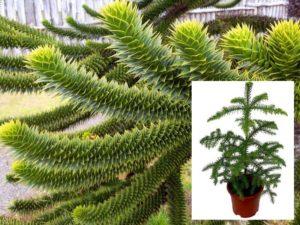 Araucaria angustifolia, Араукария узколистная, или Бразильская