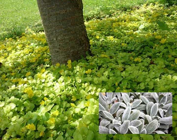 хорошо адаптируется в тени высокорослых деревьев