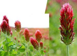 Клевер луговой или красный