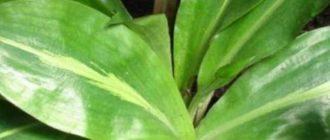 Обладает крупными лацентными листьями до 40 см.