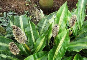 Лацетные овальные листья отличаются темно-зеленым цветом