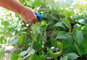 Цветение не примечательное, щитковое. Фиолетовые плоды являются не съедобными.