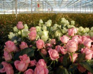 Как начать выращивать розы в тепличных условиях? Подготовка помещения