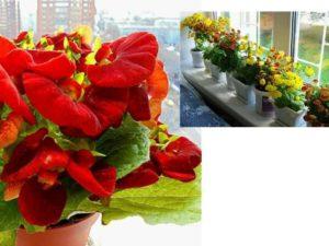 компактный невысокий куст с багряными цветами в виде башмачков с бархатной поверхностью