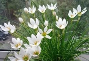 Цвет и сроки цветения различаются по сортам
