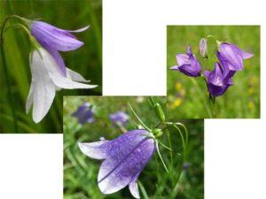 Grandiflora достигающий 1 м в высоту с фиолетовыми бутонами;