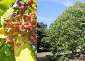 Плодоношение конфетного дерева