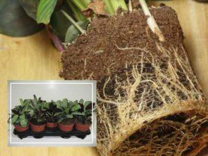 В естественных условиях Ктенанта может вырасти на высоту до 2,5 м,
