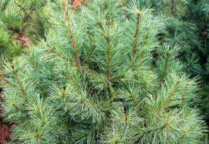 Это дерево остается декоративным на протяжении всего года. Однако ее обильные ветви подвергаются ветролому.