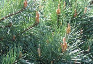 Свои первые несколько лет деревце растет очень медленно, а впоследствии стремительно прибавляет в росте, достигая 30 м. в высоту.