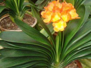 окультуренное домашнее растение