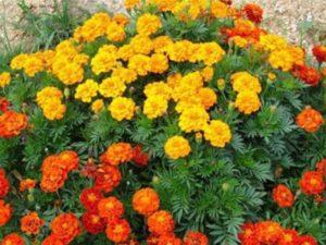 По сортовым признакам делятся на гвоздикоцветные, хризантемовидные, махровые, полумахровые, простые.