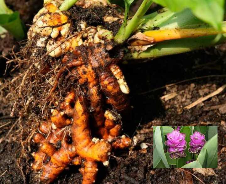 Комнатная куркума размножаются путем деления корневища
