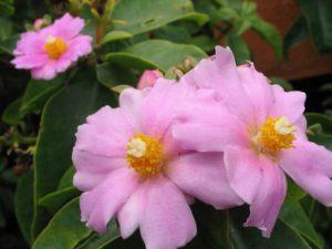 Растение цветет желто-белыми цветами, которые распускаются в конце лета и имеют приятный аромат.