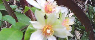 После цветения на их месте образуются круглые, желтые, съедобные плоды, из-за чего растение имеет еще одно название «Суринамский крыжовник»