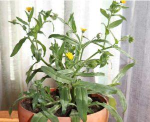 Благодаря цветению, календулу невозможно перепутать с другими декоративными растениями