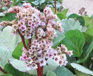 Бергения ценится садоводами благодаря ее пышному и обильному цветению даже в холодное время года