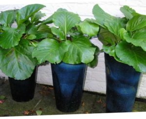 Это растение относится к вечнозеленым разновидностям и очень редко можно встретить однолетние сорта