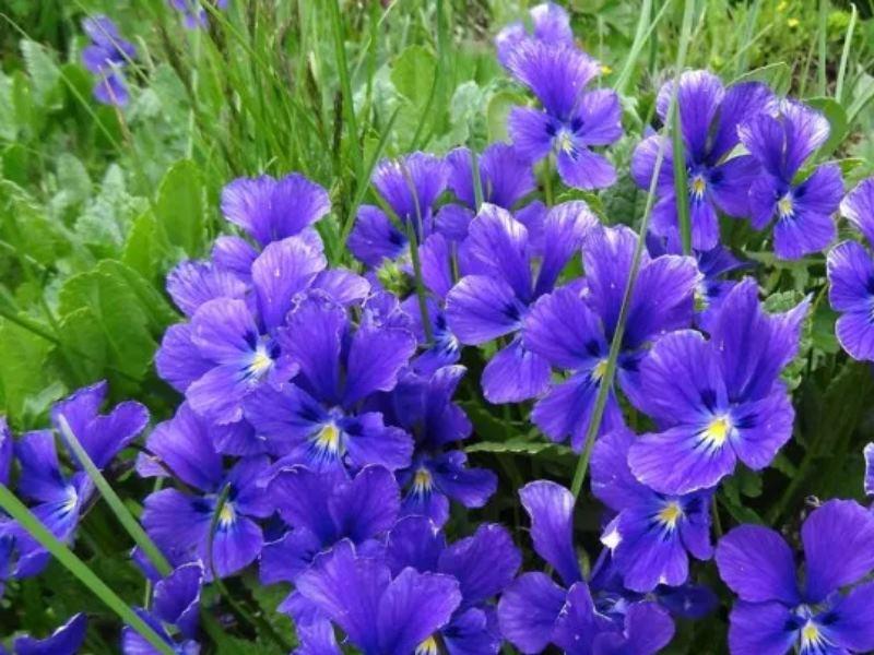 Цветет с конца апреля до сентября. После чего образуются коробочки с семенами.