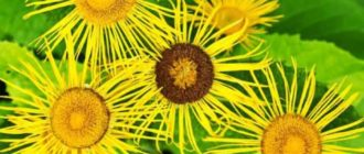 Многие цветоводы отмечают, что телекия внешне похожа на такое растение, как девясил великолепный