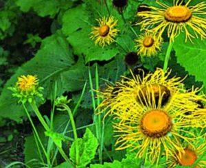 Стебли растения прямостоячие, на их окончаниях расположены соцветия зонтичной формой