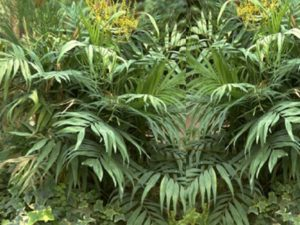 Пальма способна цвести в любое время года